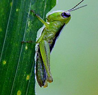 grasshopper-eating-3